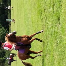 Havest Mouse 12.1 hh stunning Welsh section b chestnut mare 18 year old