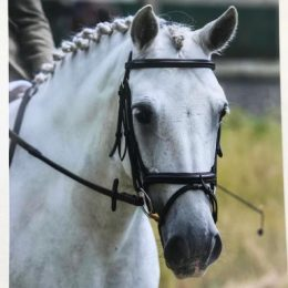 The nicest 14'1h Connie perfect all rounder BS Affiliated