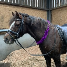 German Riding Pony For Sale