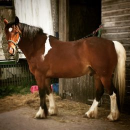 Super Smart, Safe, Blank Canvas, 14.3/15hh Connie Cross