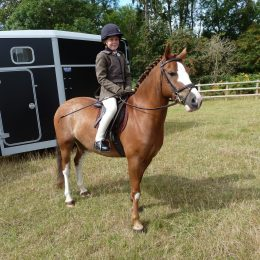 13.1hh Welsh Section C Chestnut Roan Mare for loan, 14 years old