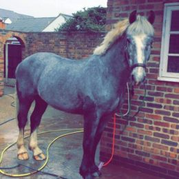 15.2hh 4 year old sports cob