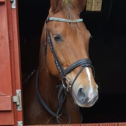 Beautiful 15.2hh Dutch warmblood