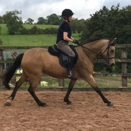 Honey 14.2 Attractive, good natured sensible dun mare.
