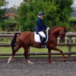Talented allrounder pocket rocket - excellent dressage breeding Diamond Hit x West Country