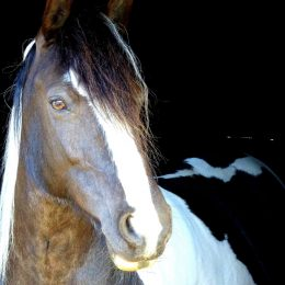 Quality 15h coloured Cob x mare 11 years - super dressage/hack with all round potential PC/RC