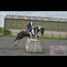 14.2 pony club/hunting all-rounder