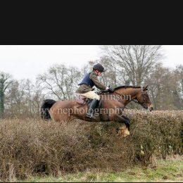Stunningly Handsome Charlie Hunting Machine 15hh Welsh Section D