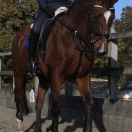 POTENTIAL ROR/DRESSAGE HORSE