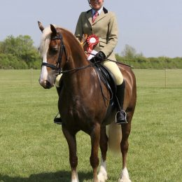 Talented Welsh Section D Mare