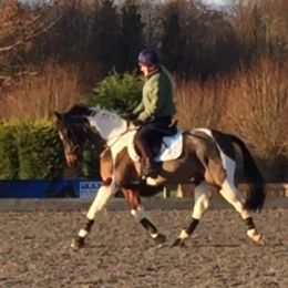The Ultimate Fun All-rounder/Eventing Schoolmaster Gelding - Any Teenagers Dream!