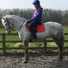 15.1hh Handsome Dapple grey Connemara 6yo gelding