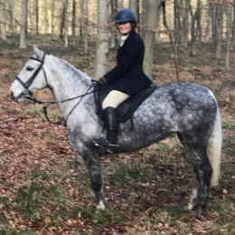 15.2 GREY MARE TB X CONNEMARA