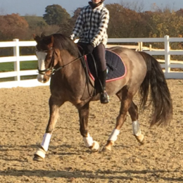 Handsome 13.2hh gelding for sale
