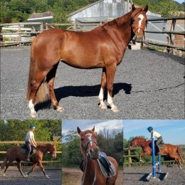 Registered Welsh/TB 14hh 6yr old Mare