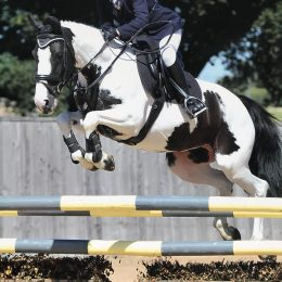 15.1hh 12 year old Allrounder/Showjumper Piebald Mare For sale.