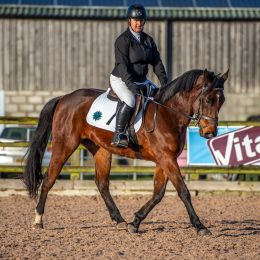 5 year old Bay gelding lots of potential