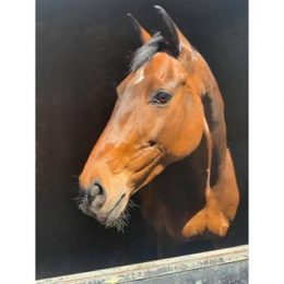 12 year old Norwegian Warmblood Mare 16.1hh