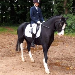 14hh Welsh C Gelding 14 yrs old Fantastic Pony Club / NSEA Competition Pony